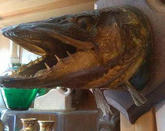 Taxidermy antique pike