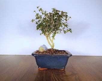 Mt Fuji serrisa bonsai in a dark blue pot. An amazing bonsai that blooms a lovely white flower!