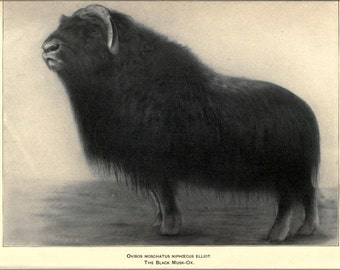 16x24 Poster; Black Musk Ox Illustration 1905