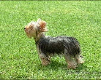 16x24 Poster; Yorkshire Terrier