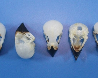 Taxidermy real bird skull Munia sp lots 5 pcs