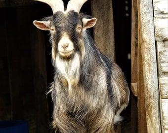 Goat in Doorway - Photograph