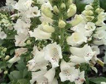 Foxgloves (Digitalis Purpurea 'Dalmatian White') - live plants - perennial plants - outdoor live plants - white flowers - white perennials