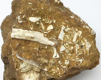 Fossilized Seabed - Assorted Fossilized Shells, Brachiopods, Gastropods in Matrix from Texas