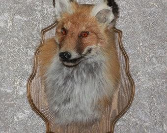 Siberian Red Fox - Taxidermy Head Shoulder Mount, Stuffed Animal For Sale - ST3323