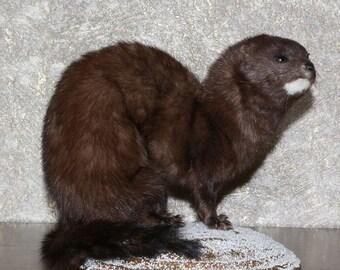 European Mink - Taxidermy Mount, Stuffed Animal For Sale - Weasel - ST3681