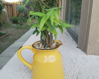 Big Yellow pitcher with lucky green money tree
