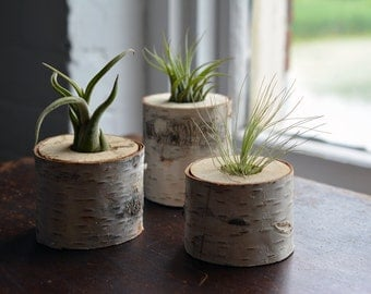 "Birch Tree Air Plant Holders (2"" - 4"" Tall)"