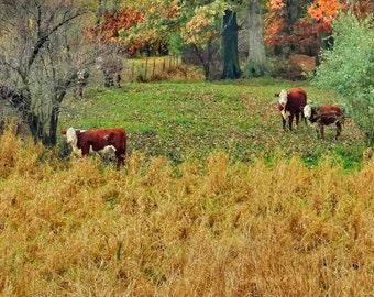 "Brown and White Cows Photo, Cow Print, Farm Photo, Country Home Decor, Rustic Home Decor, Fine Art Photo, Farm Animal ""3 Brown & White Cows"""