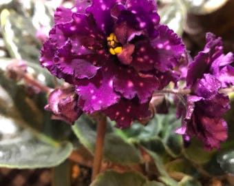 African Violet Music Maker Pair of Leaves