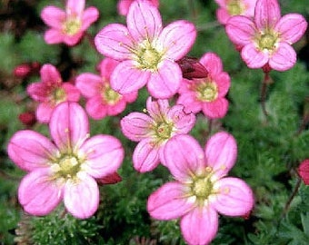 Saxifraga Rose Robe Plant Seeds/Arendsii/Perennial    85+