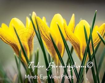 Spring Flowers Yellow Snow Crocus Nature Fine Art Flower Photography Print
