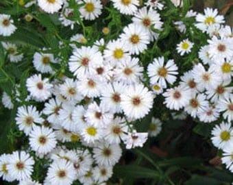 Small White flower ASTER