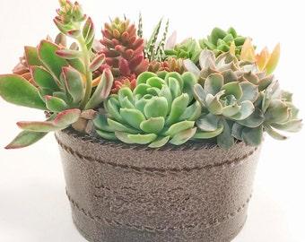 Succulent Plants - Succulent Arrangement - Succulent Gift Bowl