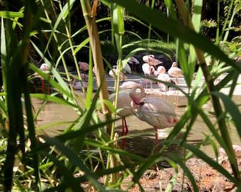 Flamingos relaxing - flamingos photo - flamingos photography - art photo - art photography - animal photo - pet photo