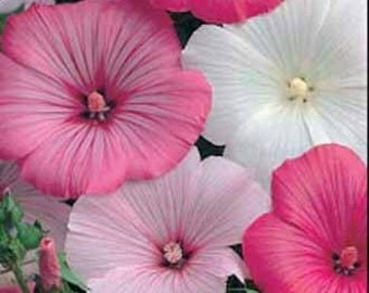 "Mallow ""Parade Mixed"" Seeds / Lavatera trimestris / Blooms abound in Pastel Colours!"