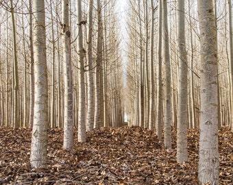 Nature Photography, Cottonwoods, Winter, Uniformity