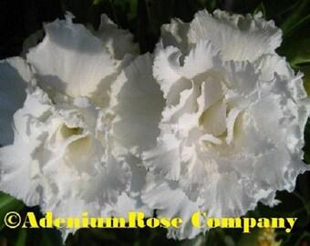 Adenium plant  Coco Lee Large desert rose plants growing and cactus