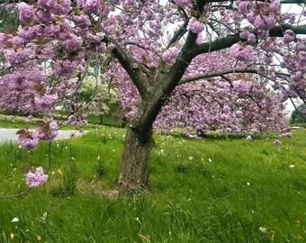 Original Cherry Blossom Photograph