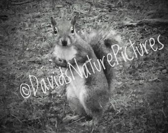 Digital Download - Eastern Gray Squirrel in Black and White Vignette - Nature Photography