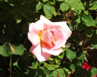 Digitally Enhanced 8x10 Photo Print - Pink Rose, San Jose Rose Garden