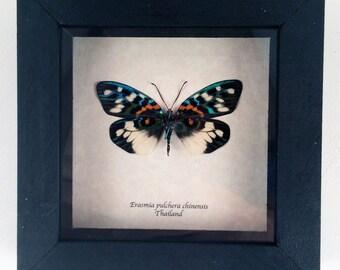 Real moth framed - Erasmia pulchera chinensis