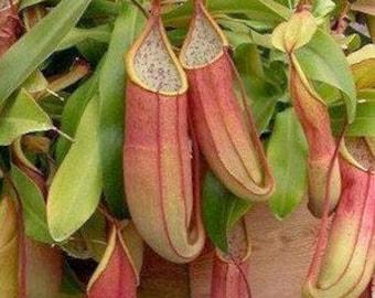 CARNIVOROUS Nepenthes Sanguinea Pitcher Plant Live Plant