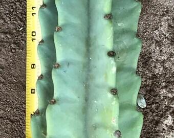 Very Cool Peruvian Cactus Cutting (Succulent)