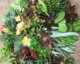100 Living Succulent Plant Cuttings