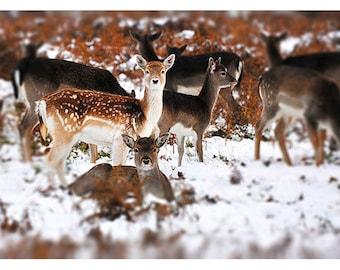 Baby Deer in Snow - Fawns - Fallow Deer - Photo Print - Nature Photography - Wildlife Photograph - Bambi - Fine Art - The London Print Shop