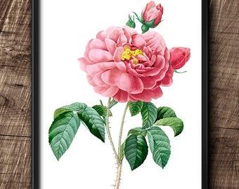 Rose · 8x10 · Instant Download · Botanical · Vintage · Wall · Printable · Digital File #45