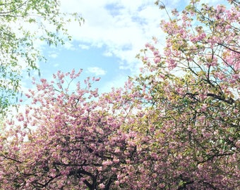 Cherry Blossom Limited Edition Photographic Print