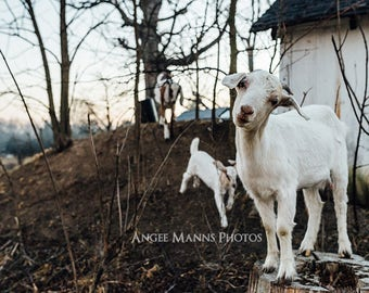 Goat Photograph, Farm Animal Photography, Rustic Home Decor