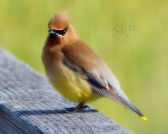 Approval Required - PHOTO PRINT - Cedar Waxwing