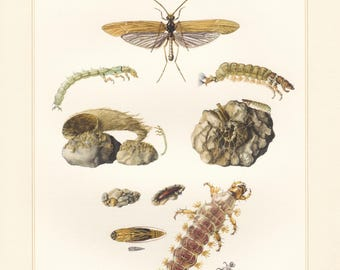 Vintage lithograph of caddisflies from 1957