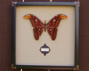 Giant Atlas Moth framed in Victorian Steampunk Style
