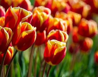 Skagit Valley Tulip FestivalSkagit Valley Tulip Festival, Washington