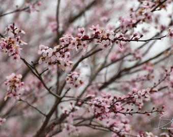 Spring Flowers: Dc Area Cherry Blossoms