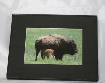 Baby Buffalo nursing