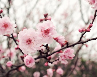"Flower photography cherry blossoms pink spring flowers wall art  ""Spring Blush"""