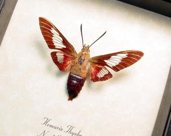 Real Framed Rare Clearwing Hemaris Thysbe Hummingbird Moth 8454
