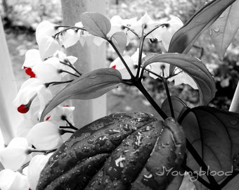 Photograph: Bleeding Heart Flower Photography 8x10 Nature Print Black White Red