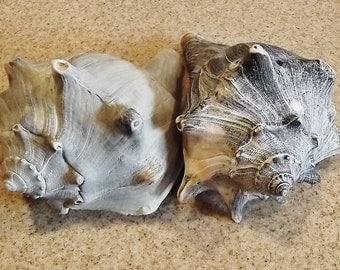 2 Gray/Blue Whelk Shells- LOT