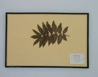 Vintage 1968 botanical specimen by Maine arborist - Staghorn Sumac