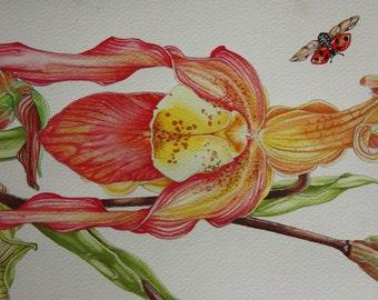 Ladyslipper Orchids, original botanical art, botany painting, watercolors, coloured pencils, flowers drawing, garden, boho, ladybug