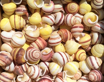 Striped Banded Yellow Land snails / Fun Fairyland Shells Perfect for  Decorating Elf & Fairy Gardens Crafting Decorating