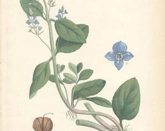 BROOKLIME - 1905 Botanical Book Plate  115 Bilder ur Nordens Flora