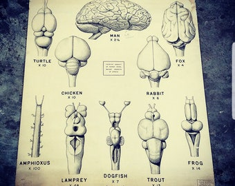 Wonderful large Vertebrate Brains anatomical chart 1941