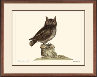SCREECH OWL - Vintage Catesby bird print reproduction  50