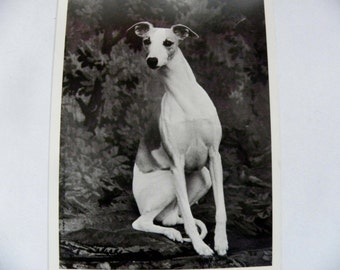 1964 Westminister Kennel Club, Whippet, Best of Show Dog - Black and White Photo Postcard